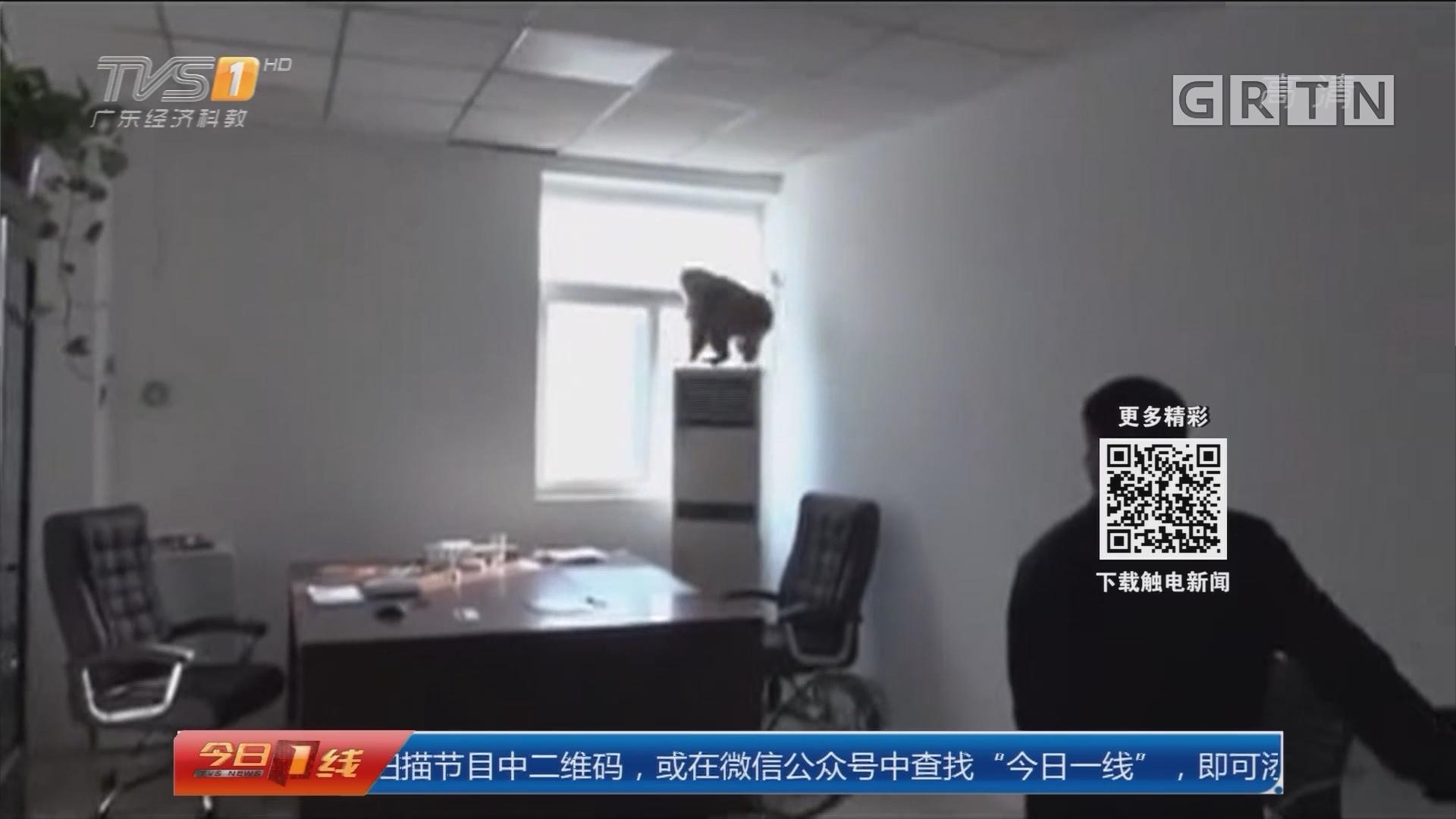 河南:猴子闯办公室 闹完开窗溜了!