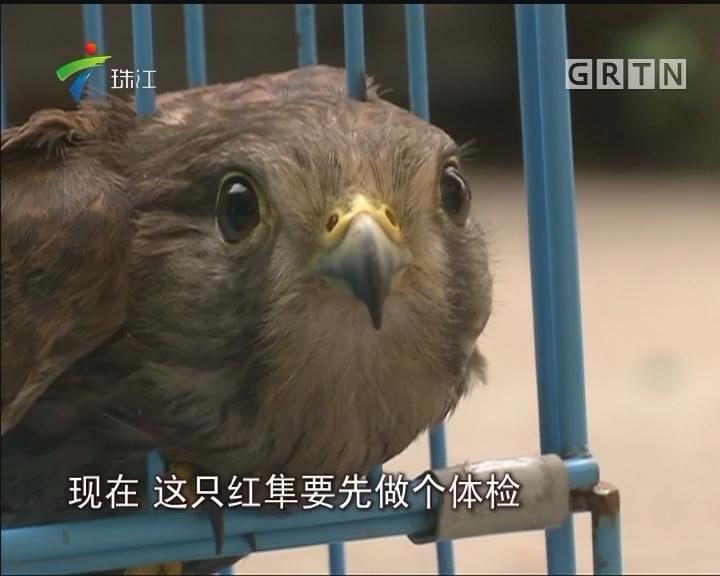 广州:保护动物红隼飞入百姓家