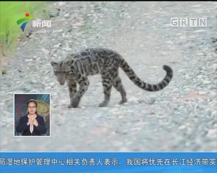 婆罗洲云豹清晰影像被拍摄