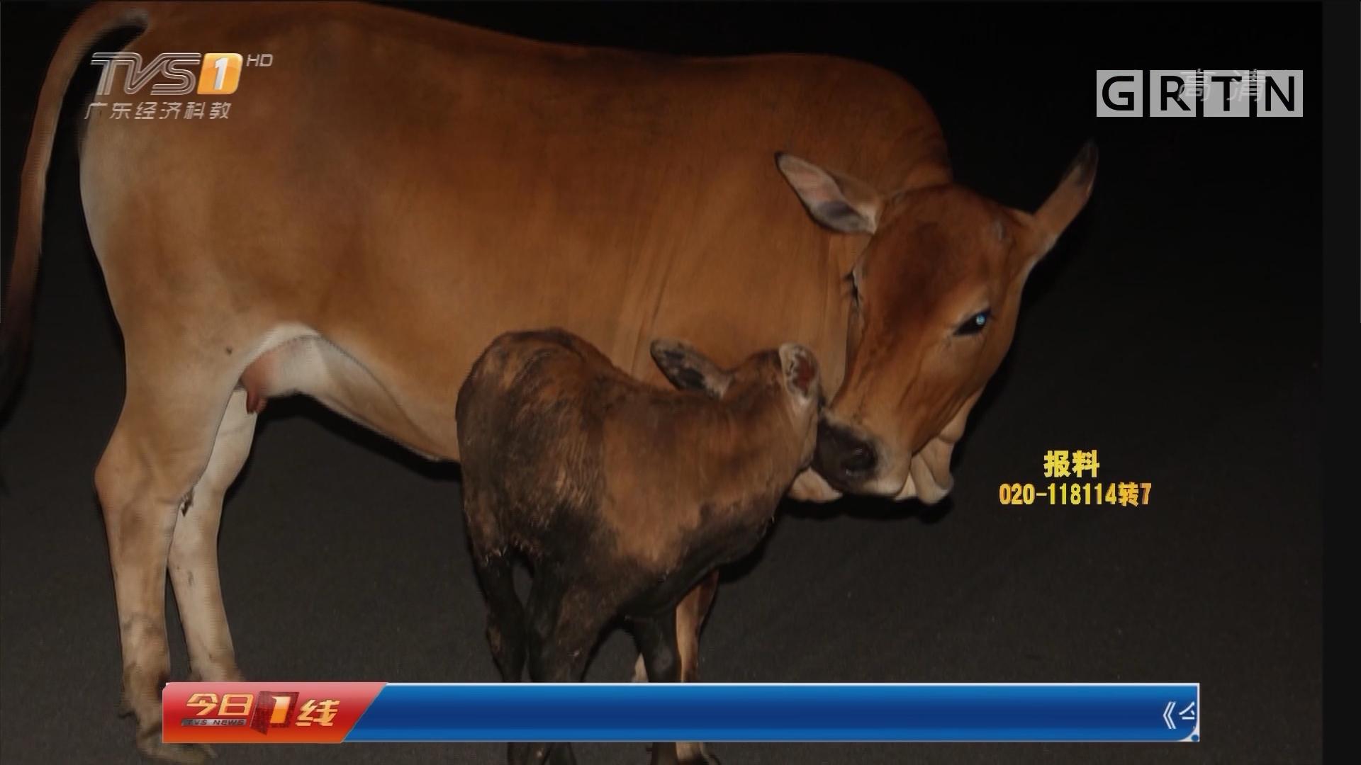 东莞虎门:小牛失足 母牛井边不离不弃