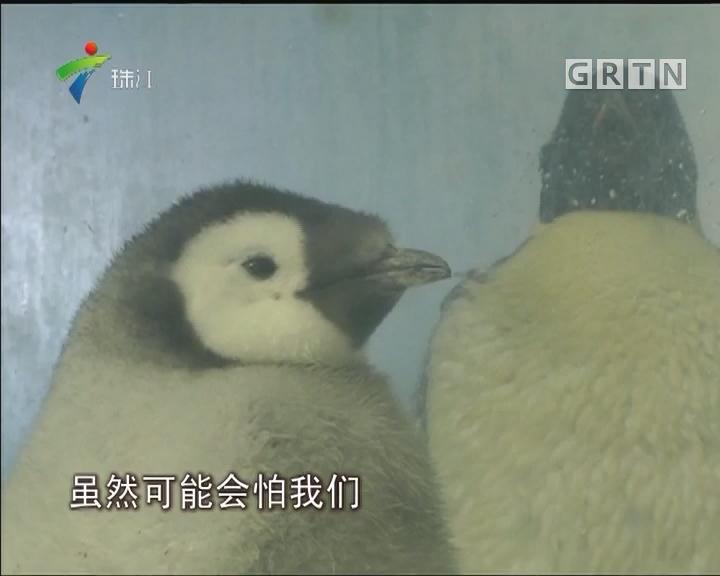 珠海:九只帝企鹅宝宝今日首展