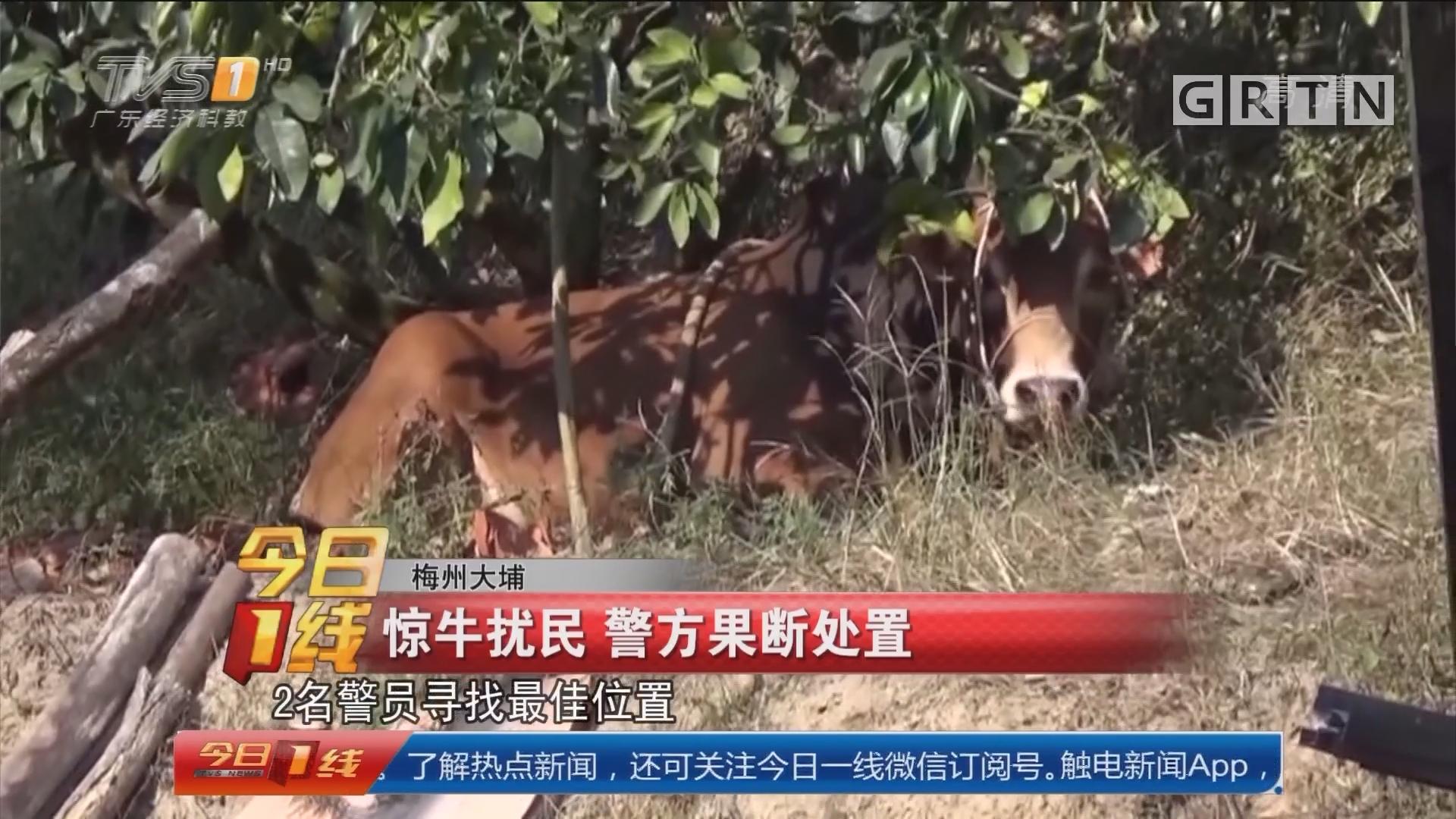 梅州大埔:惊牛扰民 警方果断处置