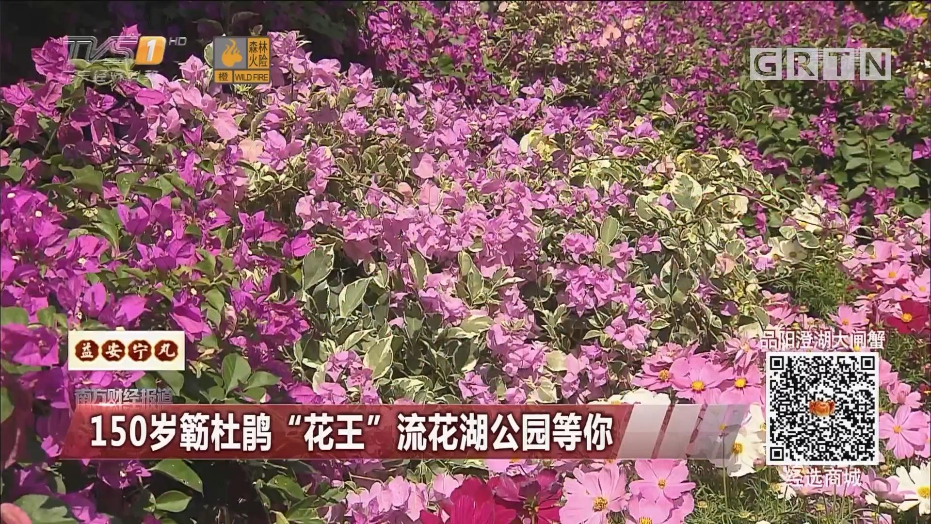 """150岁簕杜鹃""""花王""""流花湖公园等你"""