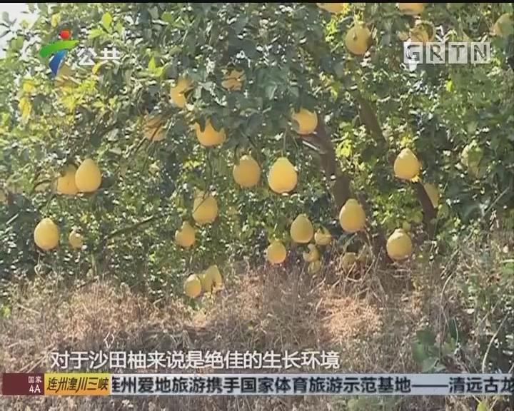 陈桂广:儿时不变的味道 容县沙田柚王