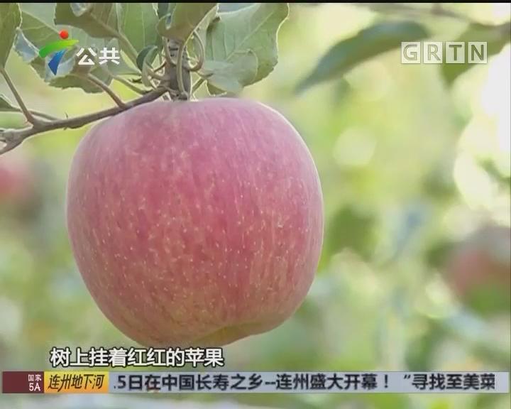唐大海:24年专注阿克苏苹果 只为一颗真正冰糖心