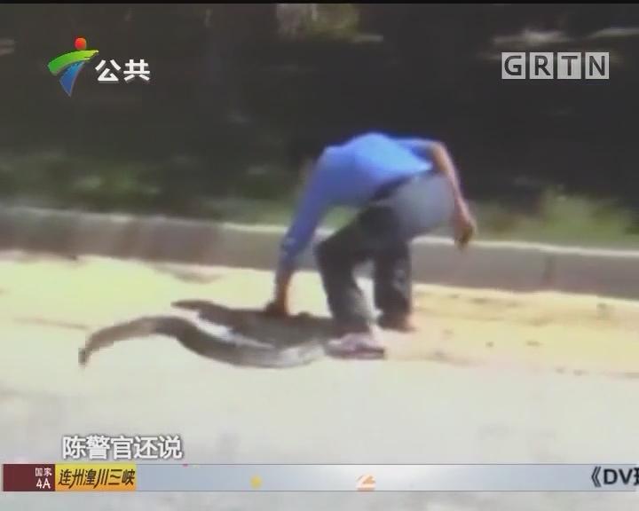 蟒蛇迷途窜上路 警民协力放其归林
