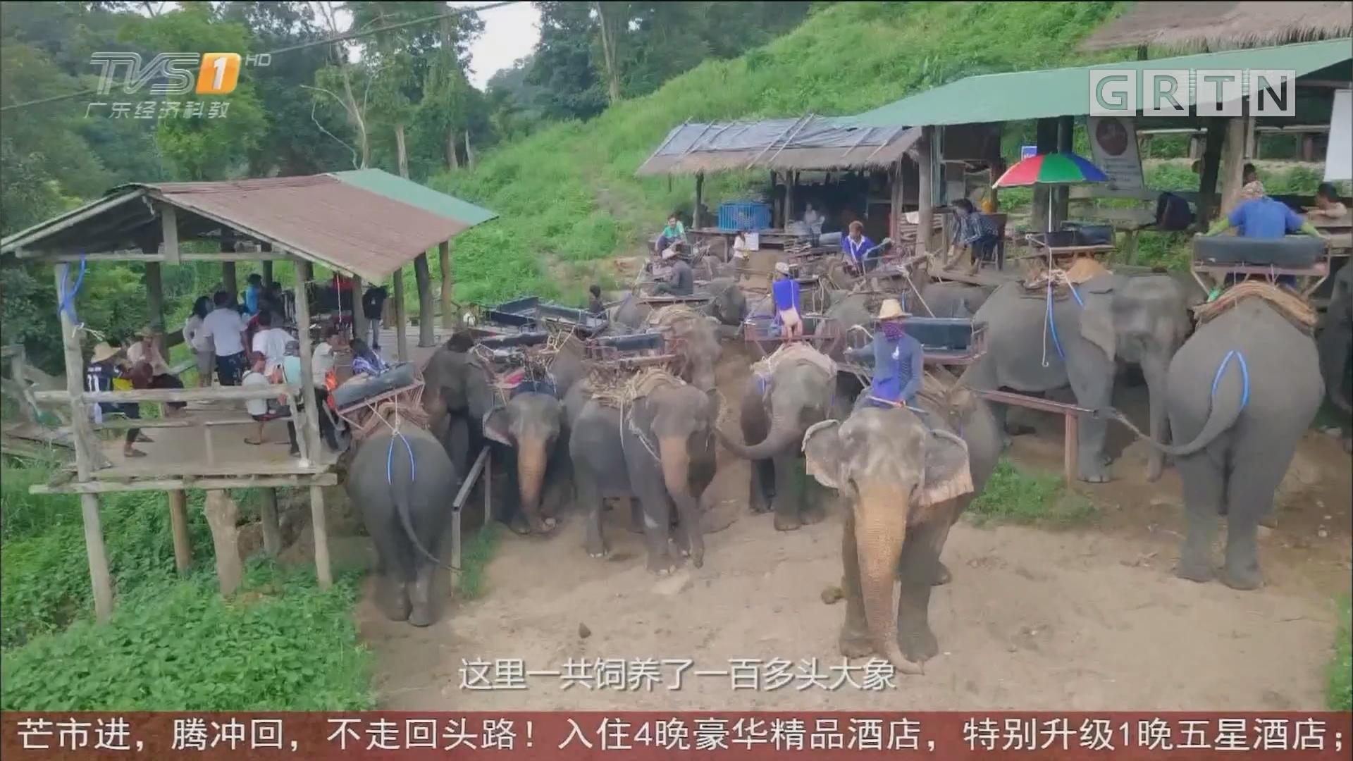 泰国清迈清莱——大象训练营