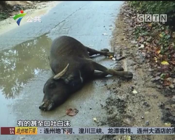 村民求助:村内连续大量牛只死亡