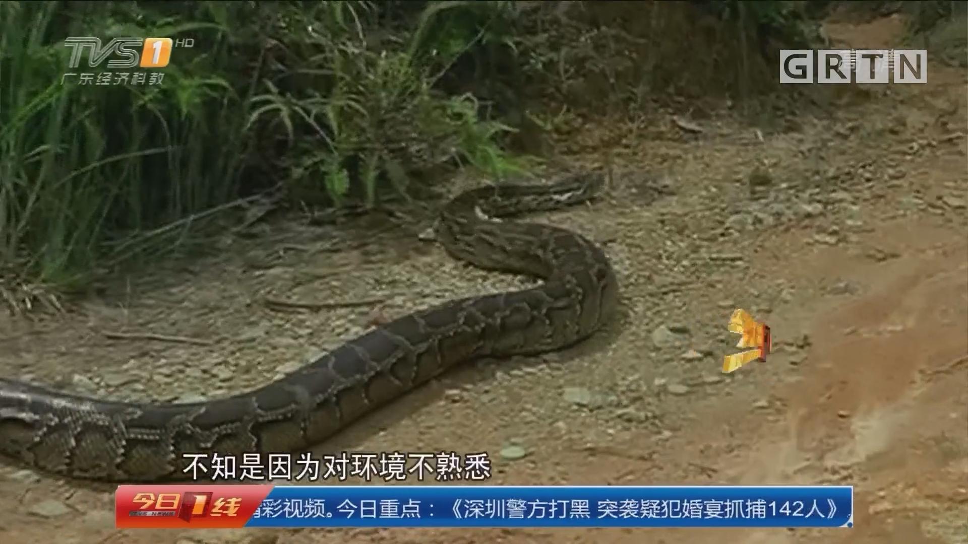 惠州惠城区:80斤大蟒蛇 放生象头山
