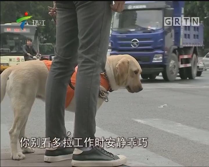 """广州:六只导盲犬毕业 将""""持证上岗"""""""
