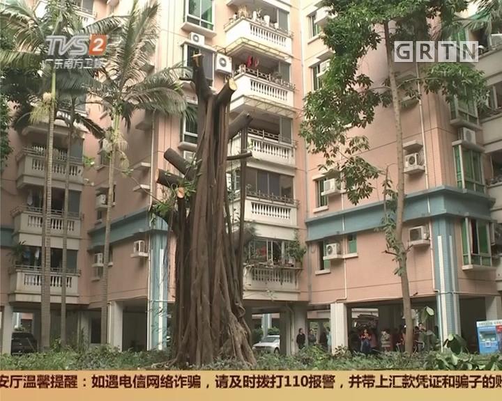 广州市番禺区:二十年大榕树为何被砍?