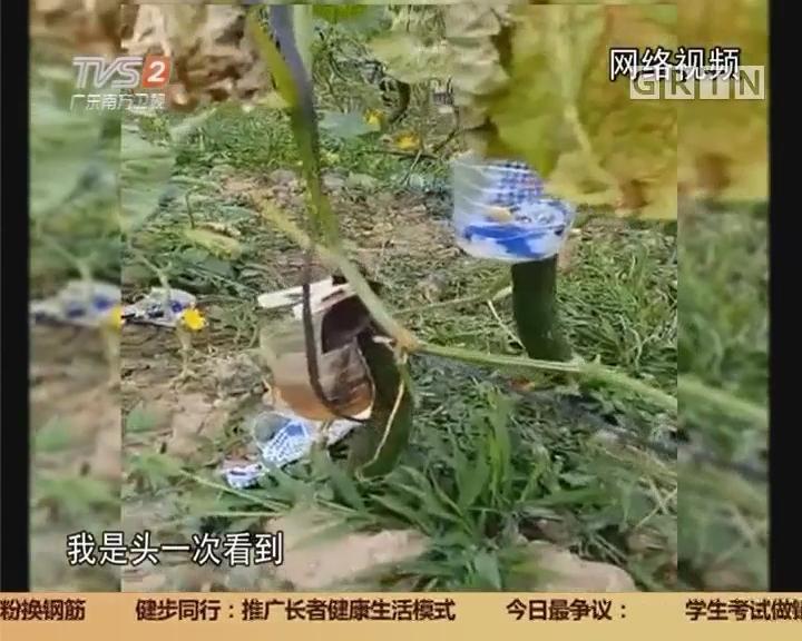 """网络视频辟谣 辟谣:黄瓜""""打激素吊瓶""""?"""