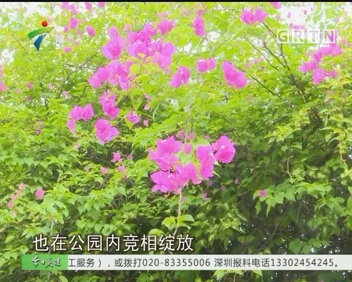 深圳:超50万平方米簕杜鹃花海惊艳深秋