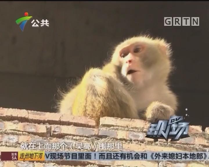 从化:外来猴子入村舍 林业部门忙捉捕