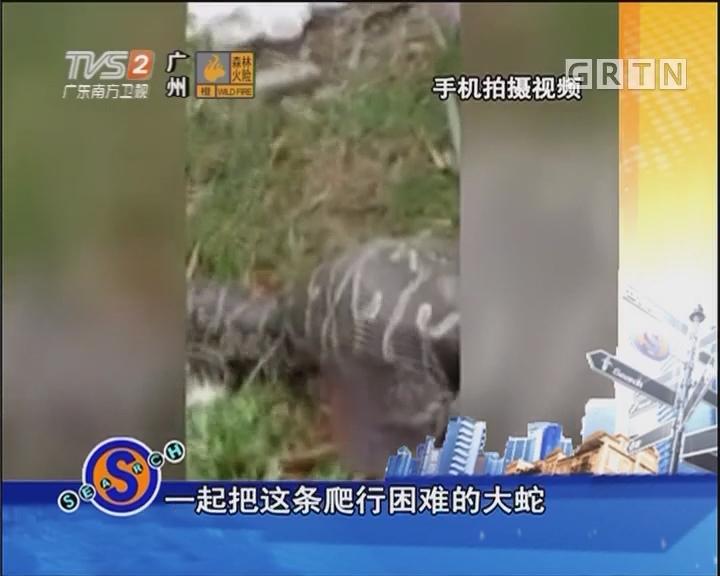 """""""贪吃蛇""""吞下70斤山羊"""