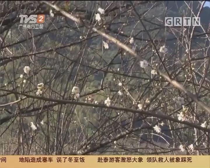 广州流溪河森林公园:梅花一弄