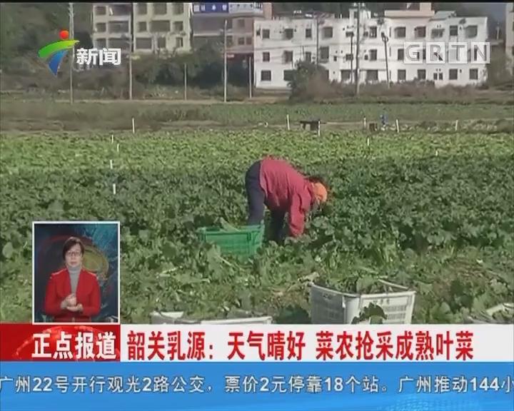 韶关乳源:天气晴好 菜农抢采成熟叶菜