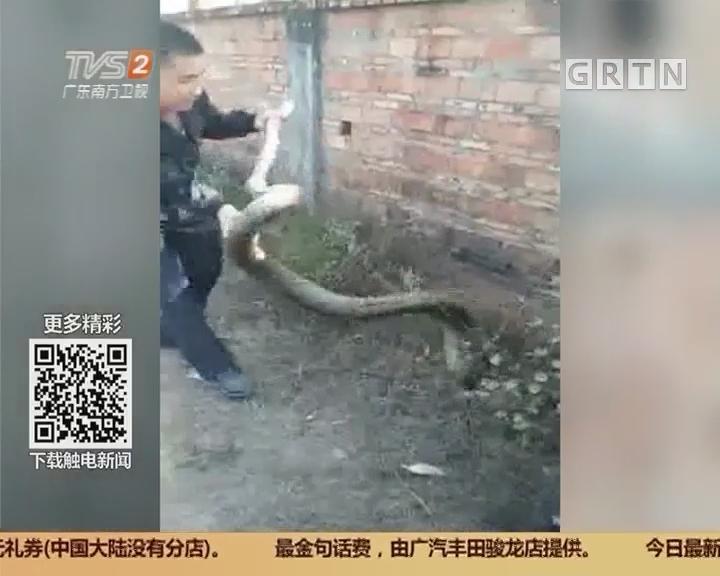 惠州惠城:村道遇蟒蛇 村民活捉送保护站放生