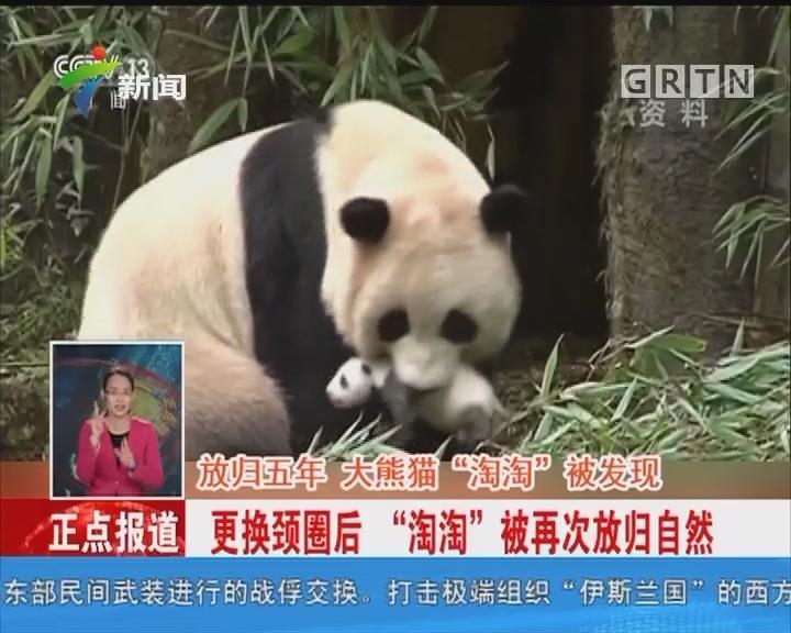 """四川:放归五年 大熊猫""""淘淘""""被发现"""
