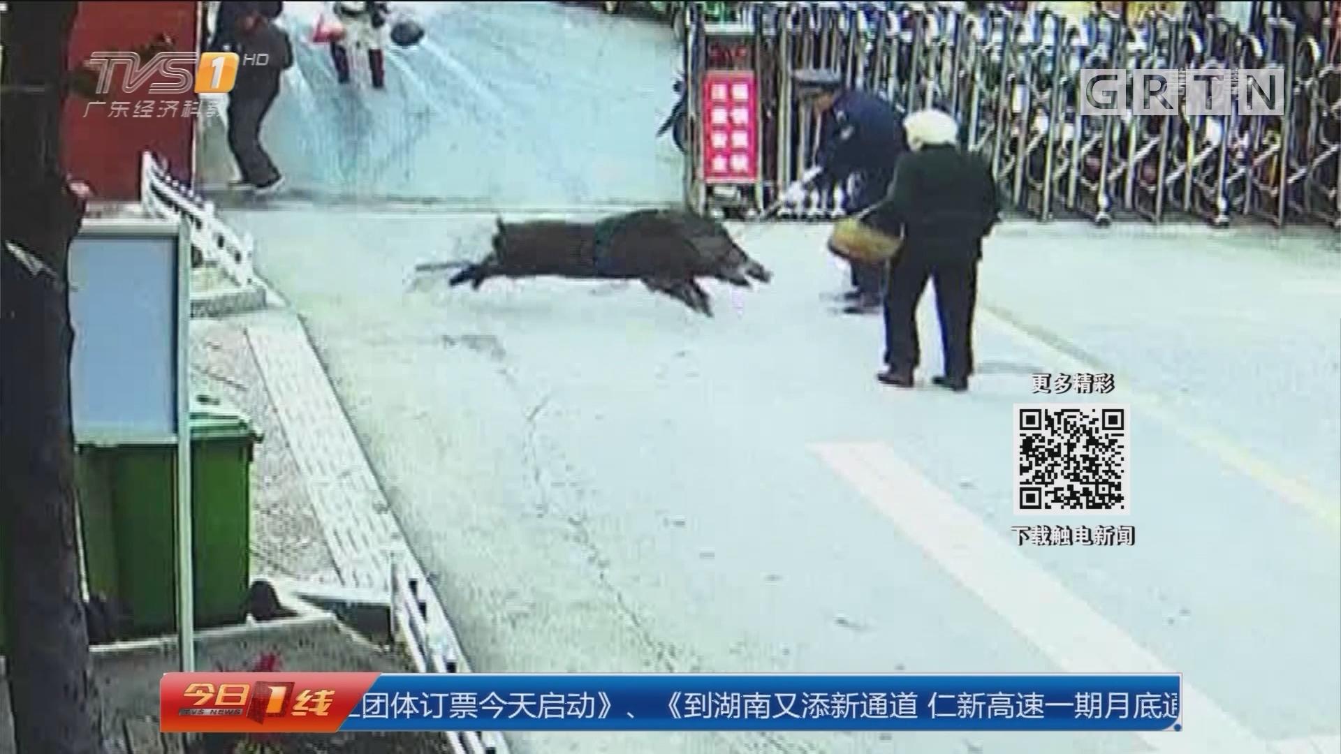 安徽宣城:野猪闯进居民区 猎手出动将其击毙