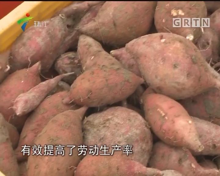 小小番薯干晒出亿元大产业