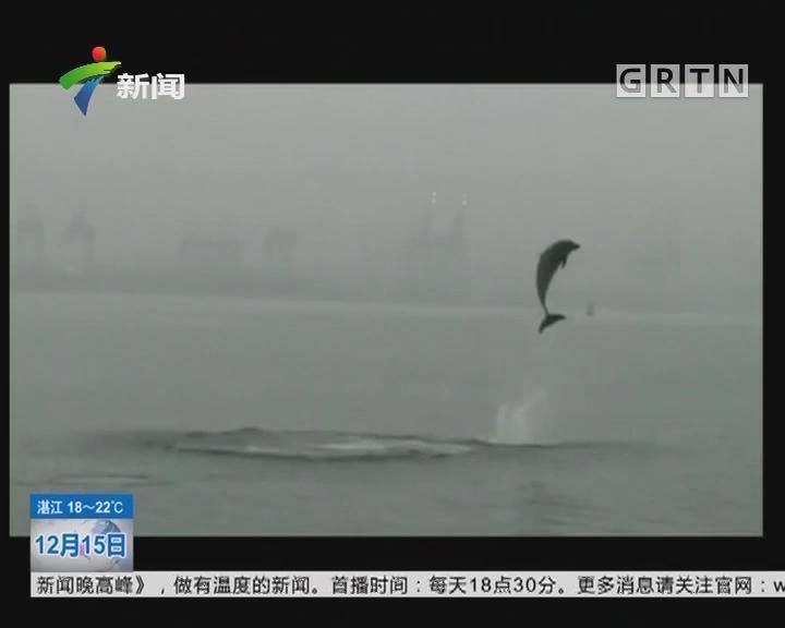 深圳盐田港海域:再现海豚身影 围着航标觅食嬉戏