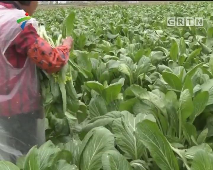 连州:大盆菜心 食客大饱口福