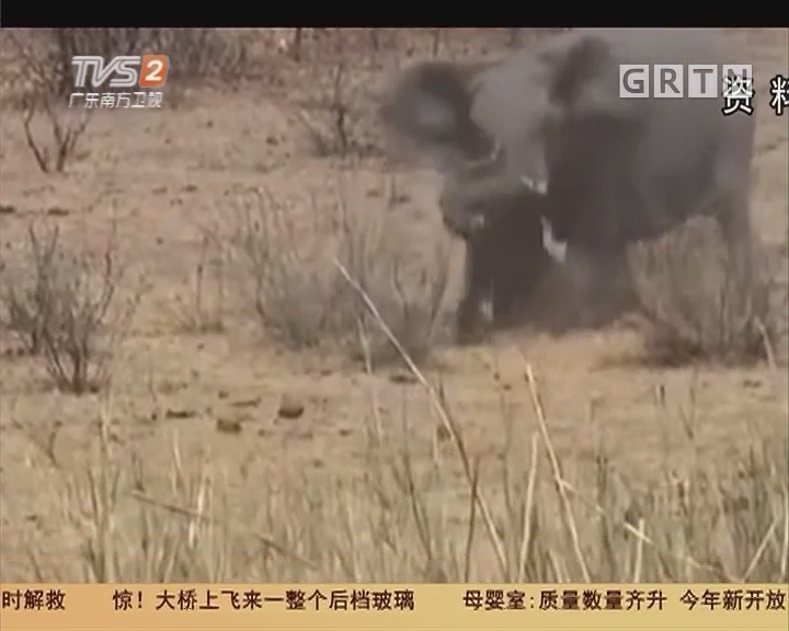 游玩安全:赴泰游客激怒大象 领队救人被象踩死