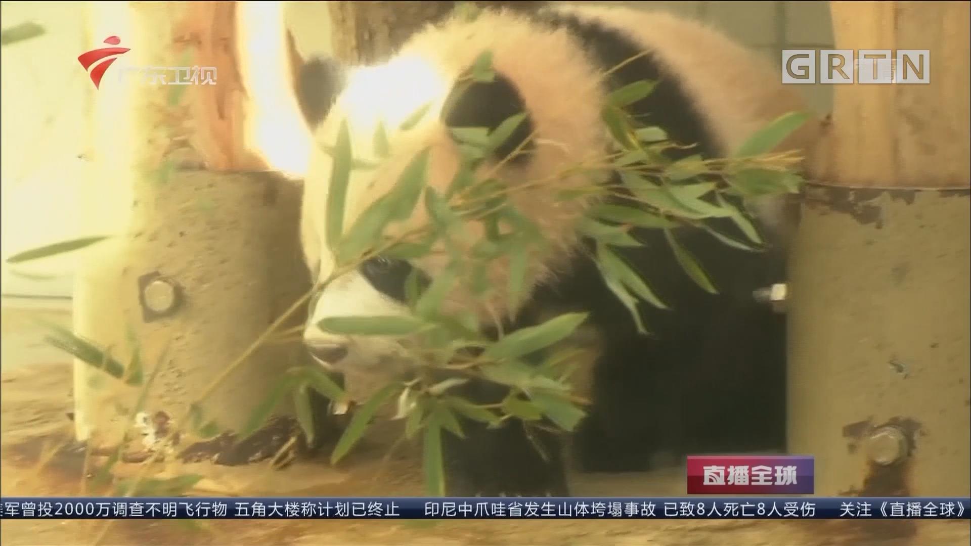 暌违29年!上野动物园熊猫宝宝首度亮相