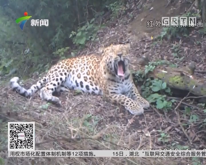 陕西:秦岭发现金钱豹幼崽