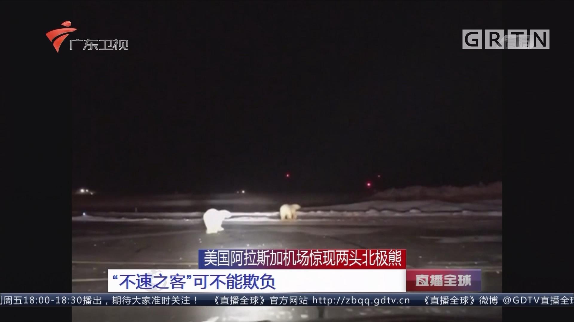 """美国阿拉斯加机场惊现两头北极熊:""""不速之客""""可不能欺负"""