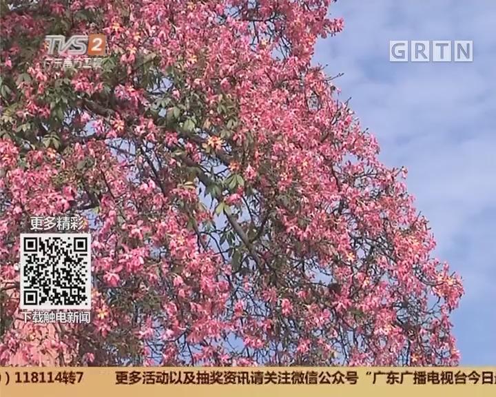 广州:花开时节 异木棉绽放羊城
