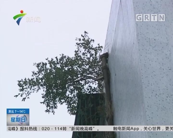 汕头:榕树墙上安家 住户安全堪忧