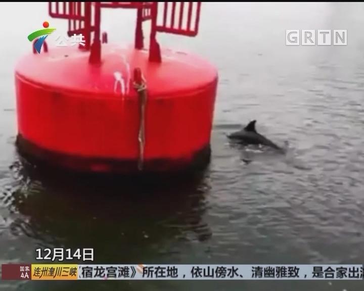 深圳东部西部 同时出现海豚