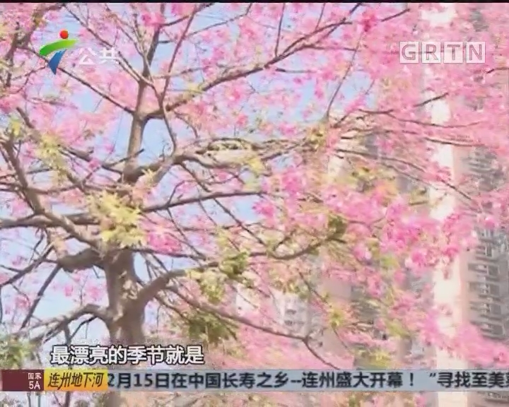 异木棉绽放华师校园 大批游客前来观赏