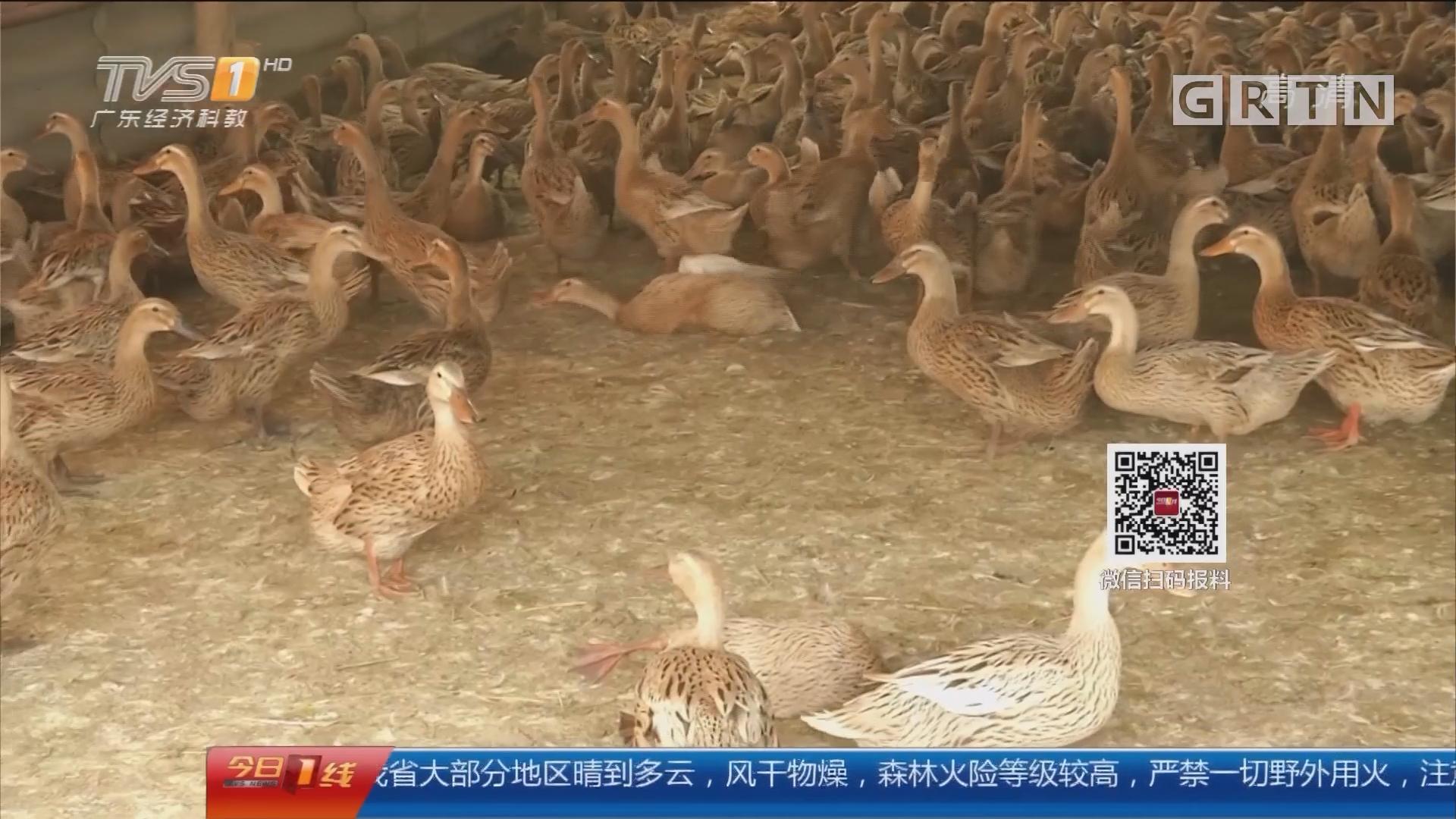 上千只鸭子接连死去 多部门介入调查