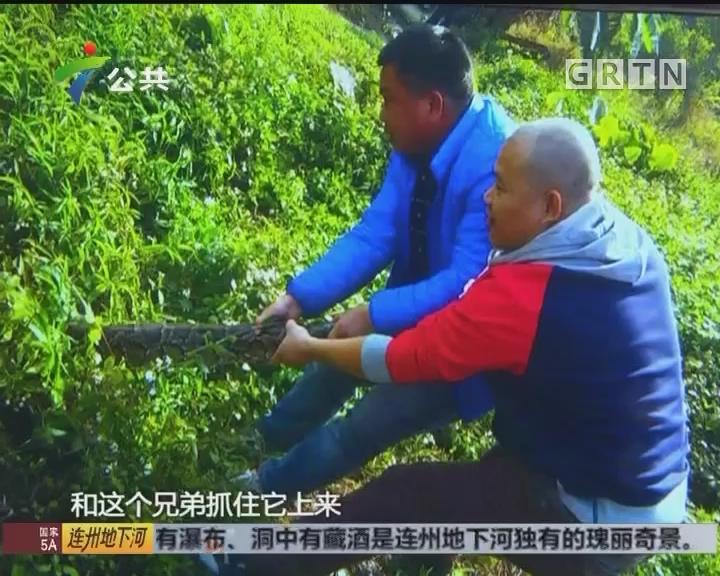 肇庆:农田蟒蛇出没 村民捉蛇险被咬