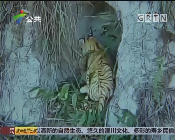 """肇庆:村民上山遇""""野生虎"""" 视频疯传朋友圈"""