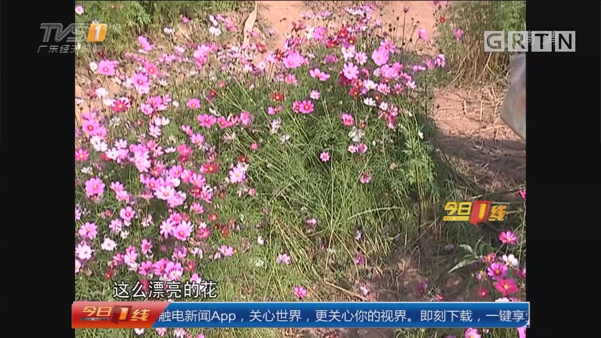 """广州海珠湖:""""脚""""下留情!花海""""惨遭践踏"""""""