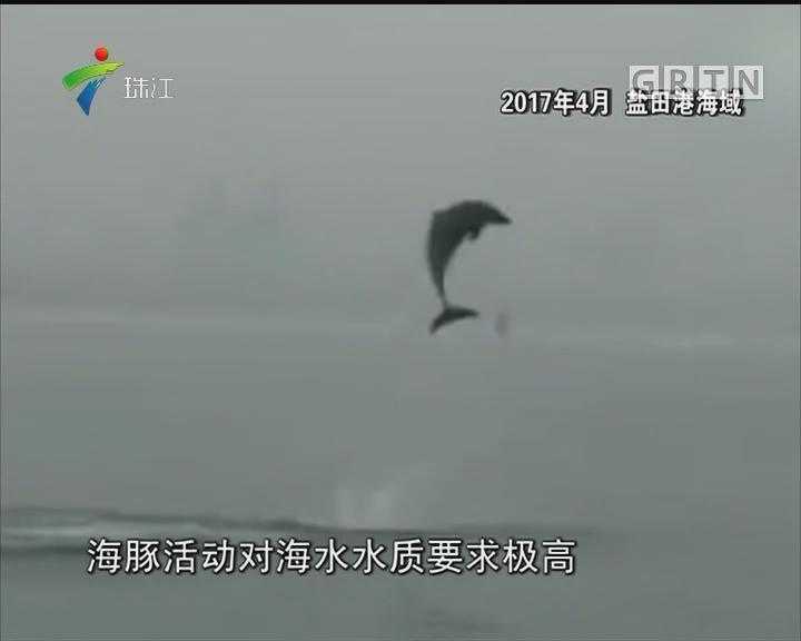 海豚频繁出没深圳海域