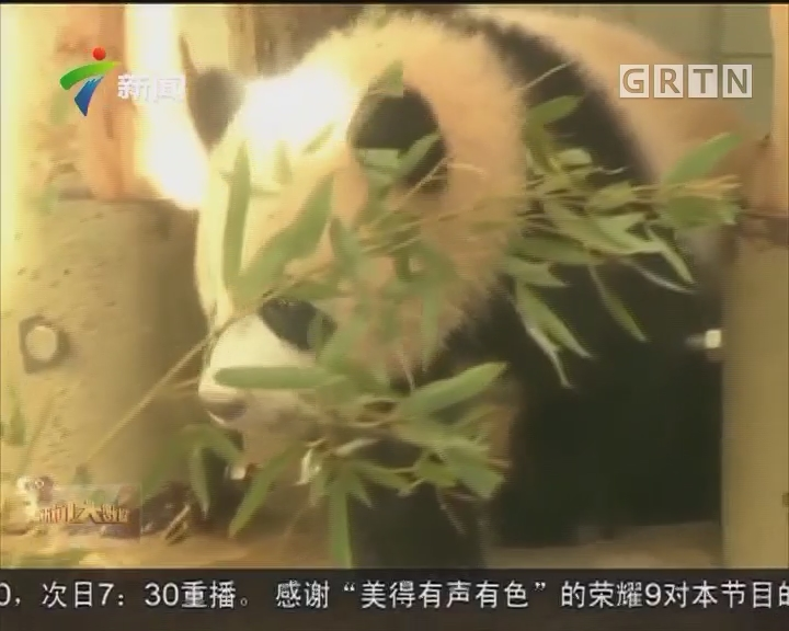 """旅日熊猫宝宝""""香香""""亮相 人气高涨"""