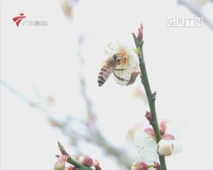 第十届萝岗香雪文化旅游节开幕