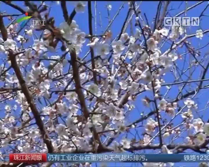 南粤:梅花朵朵迎寒开 暗香阵阵沁心怀