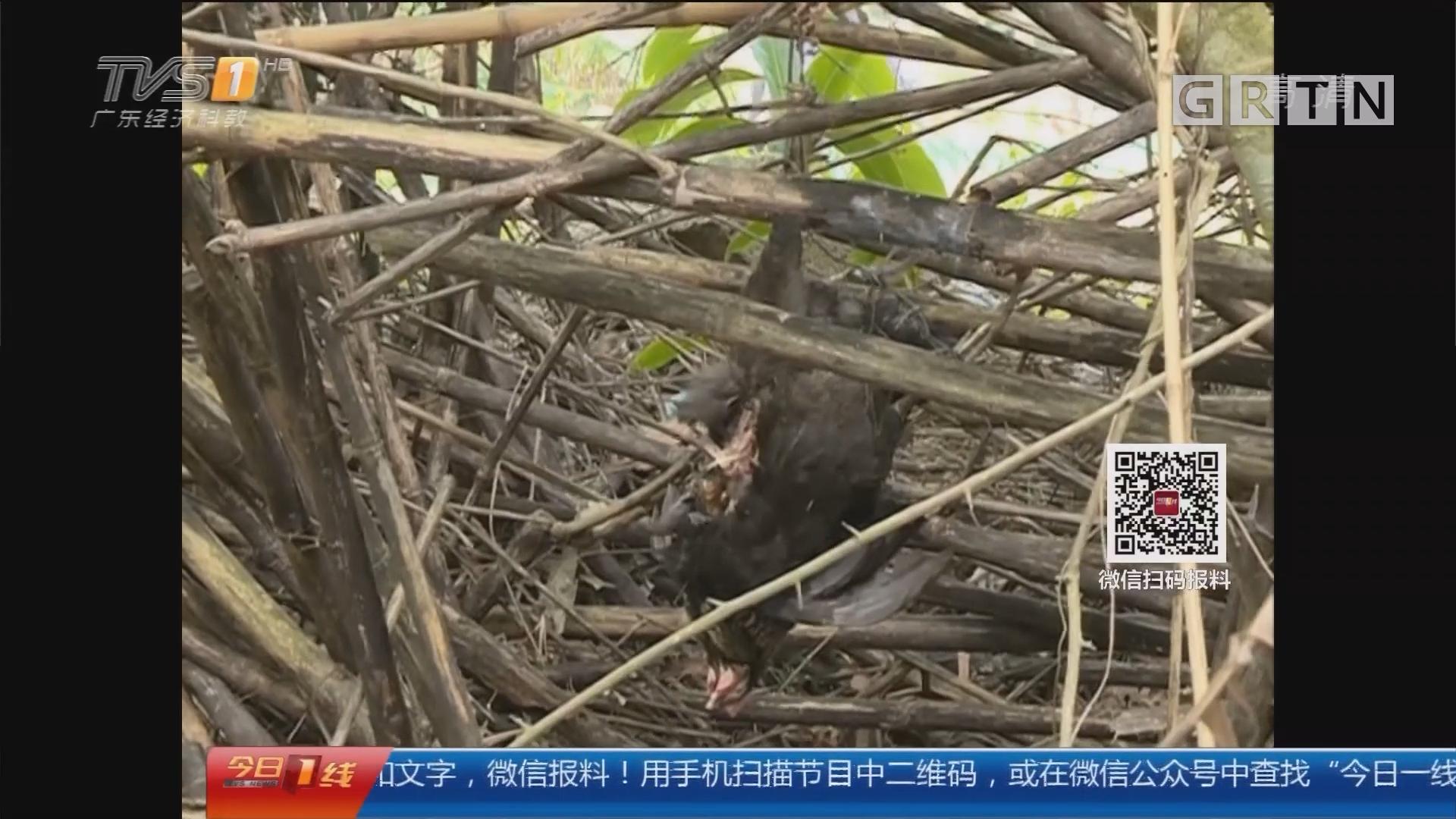 深圳大鹏新区:连续有鸡被捕杀 放置捕兽夹