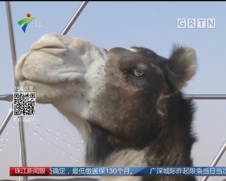 沙特骆驼选美 12头因打瘦脸针被禁赛