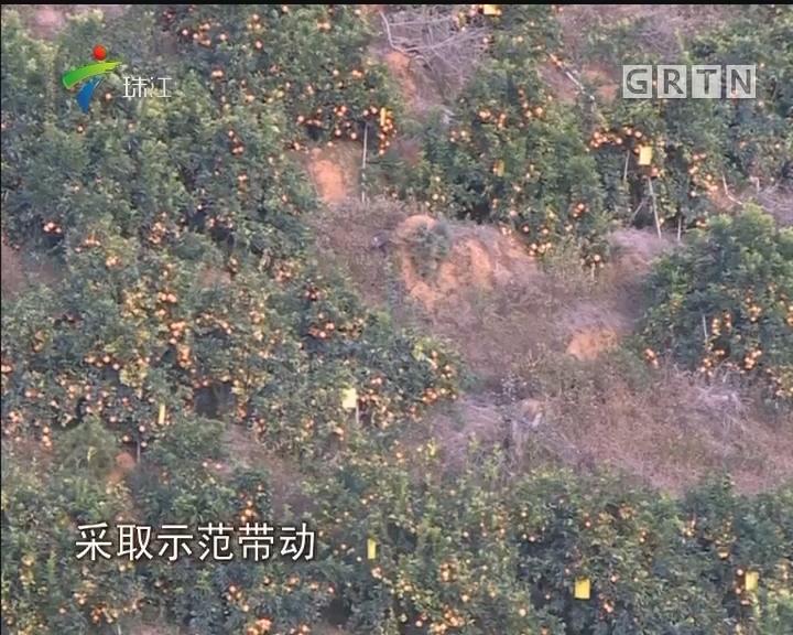 """梅州:精准防控""""黄龙病"""" 柑桔喜获丰收"""