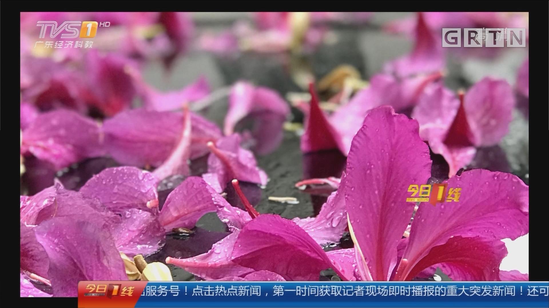 紫荆花雨:北国飞雪南国流花 何处不芳华!