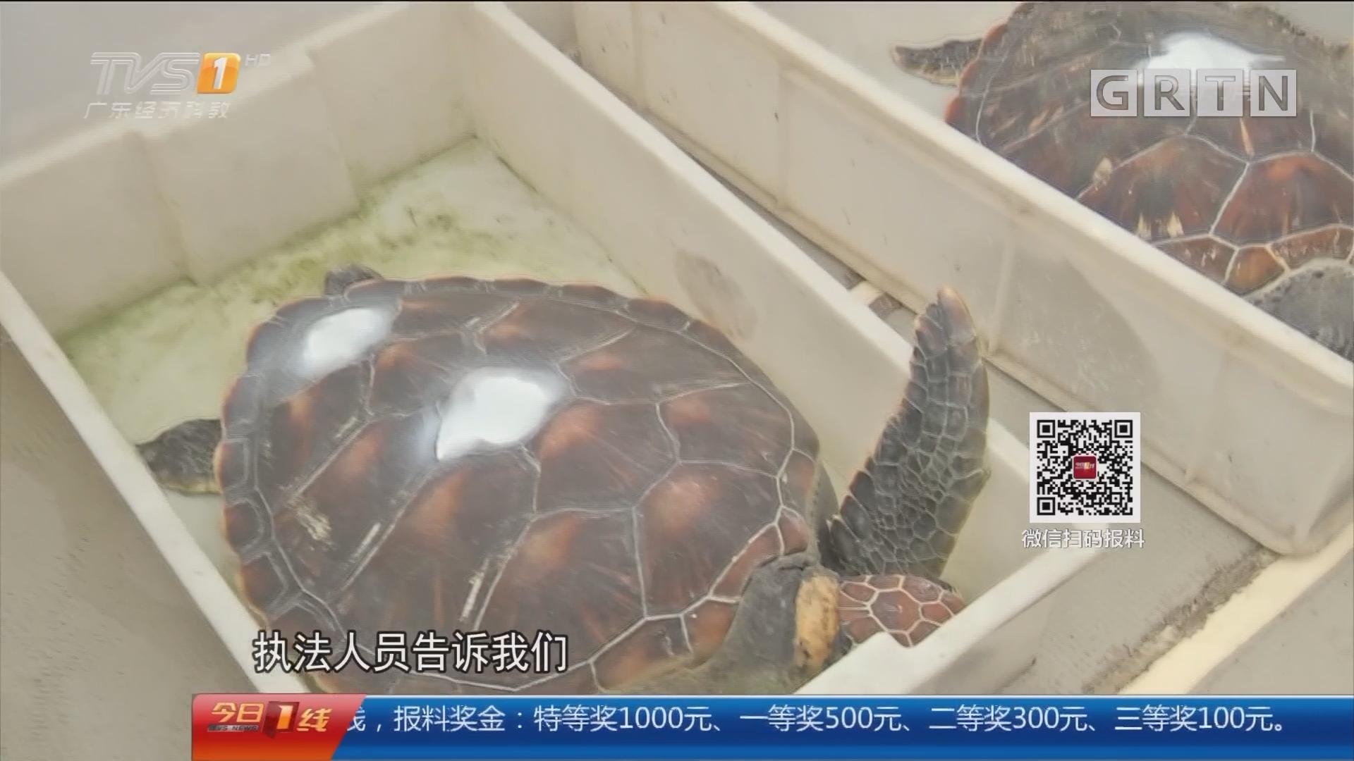 珠海 新闻追踪:被酒店私养海龟 回归大海