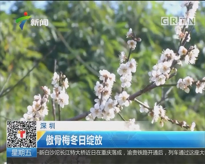 深圳:傲骨梅冬日绽放