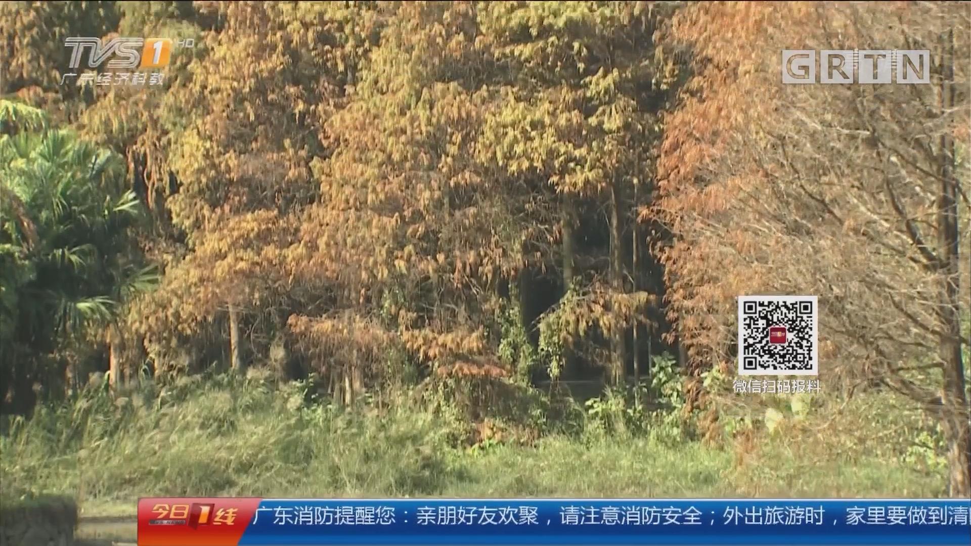 广州:华南植物园 红叶落满地 落羽杉美出新高度